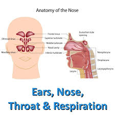 Ce Ears Nose Throat And Respiration