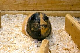 comfy and safe guinea pig bedding ideas