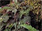 killarney fern