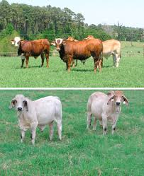 Brangus cattle are a mix of angus and brahman cattle. Brahman An Overview Sciencedirect Topics