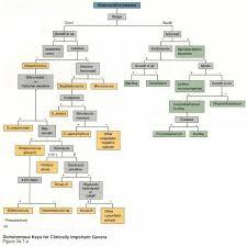 Dichotomous Flow Chart Microbiology E Coli Flow Chart Gram Negative Classification Of Bacteria