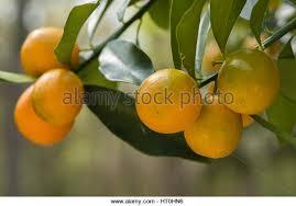 Chigusa  Rakuten Global Market It Is With Kishu Mandarin Orange Small Orange Fruit On Tree