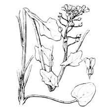 Genere Cochlearia - Flora Italiana