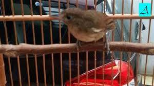 Burung murai jantan bisa dilihat perbedaannya dari burung murai betina dengan melihat bentuk kepalanya. Harga Burung Flamboyan Jantan Daftar Harga Jual Merak Biru Dan Putih Terbaru Tahun 2019 Flamboyan Gacor Nyuling Mancing Flamboyan Lain Ikutan Emosi Vernie Burkhead