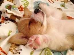 corgi puppy sleeping. Brilliant Sleeping Corgi Puppy Sleeping Corgi Style Inside Puppy Sleeping T