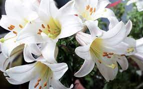 the meaning of easter lilies and other