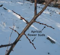 Feeding And Caring For Apple TreesDormant Fruit Trees