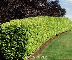 formal evergreen privacy hedges | Large evergreen shrub has dense, erect  branches and rich green