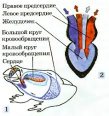 Кровеносная система земноводных Биология Реферат доклад  Строение кровеносной системы 1 и сердца 2 лягушки