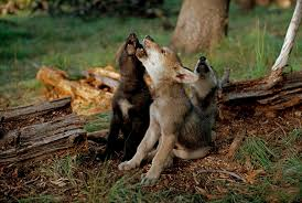 black wolf and white wolf pups. Unique Pups Pups Howl The Adult Wolves  In Black Wolf And White G