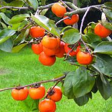 Online Get Cheap Sale Fruit Trees -Aliexpress.com | Alibaba Group