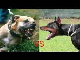 pitbull dog vs doberman. Simple Doberman Pitbull Vs Doberman Fight New Pit Bull  Bully 2018 Fight Hindi In Dog Vs O