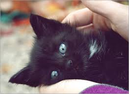black and white kittens with blue eyes for sale. And Black White Kittens With Blue Eyes For Sale