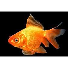 petco goldfish. Fine Goldfish Red Ryukin Goldfish And Petco H