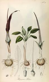 Biarum bovei - Wikispecies