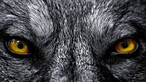 Scary Wolf Wallpaper - Wolf Eyes ...