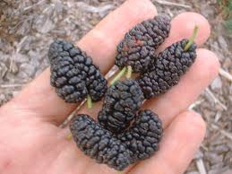 Plants « Edible Plant ProjectTree With Blackberry Like Fruit