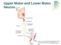 recall that somatic motor pathways involve at least two motor neurons an upper motor neuron whose cell body lies in a central nervous system processing