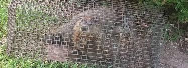 getting rid of groundhogs mothballs. Beautiful Groundhogs Intended Getting Rid Of Groundhogs Mothballs T