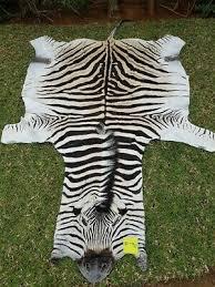 authentic south african zebra skin rug hide trophy grade