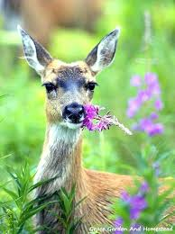 how to keep deer out of my vegetable garden keep deer out of vegetable garden keep
