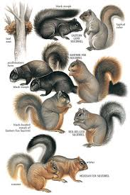 Squirrel Species Chart Types Of Squirrels Eastern Tropical Tree Squirrels Mbw
