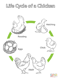 Coloring Pages For Kids Chickens With Life Cycle Of A Chicken