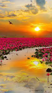 Nature #Lotus Flowers #wallpapers hd 4k ...
