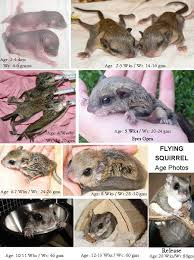 Grey Squirrel Age Chart Care For Baby Flying Squirrels Flyers The Arc Animal