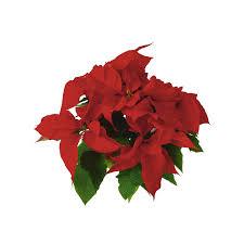 Weihnachtsstern P105 Cm Zimmerpflanzen Landi