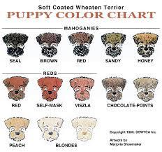 Labradoodle Color Chart Scwtca Puppy Colors