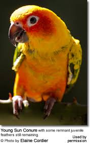 Sun Conures Or Sun Parakeets Beauty Of Birds