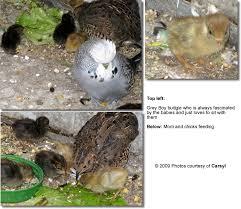 Buttonquails Button Quails Or Hemipodes Beauty Of Birds