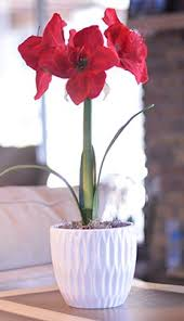 potted amaryllis the perfect gift