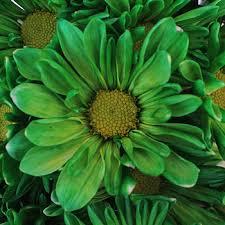 green bulk daisy flower enhanced