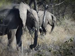 elephant car insurance number lovely big game hunter trampled to by elephant in namibia