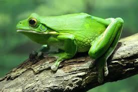 tree frog template pictures of frog printable pictures of frogs and toads samunar club