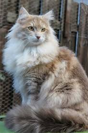 Amazing Pictures Maine 20 Best Fallinpets Coon Of Cat