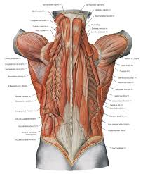 Image Result For Human Back Diagram Muscle Anatomy Human