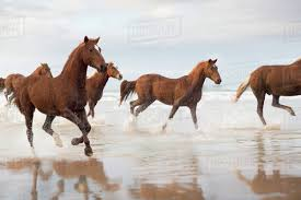 horses running. Contemporary Horses Brown Horses Running On A Beach And Running R