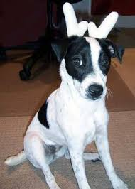 black and white jack russell terrier mix. Delighful Jack Lola The Jack Russell Terrier Chihuahua Mix  And Black White Mix A