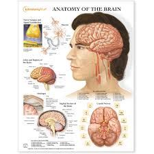Cranial Reflexology Chart Brain Arteries And Cranial Nerves Chart Poster Laminated