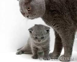 курсовая по оперативной хирургии кастрация кота Кот и Кошка Кастрация Сочинения и курсовые работы