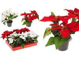 Weihnachtsstern Rot Weiß Im Topf Sehr Hochwertig