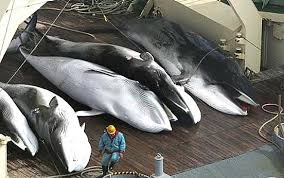 Japan, still fighting for whaling