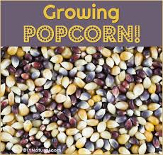 Growing Popcorn Growing Popcorn 6 Reasons You Should Be Growing Your Own