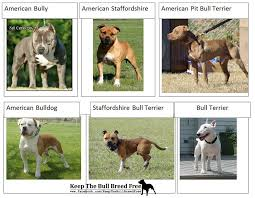 6 The American Bully Breed Type Bully Breed Size Chart