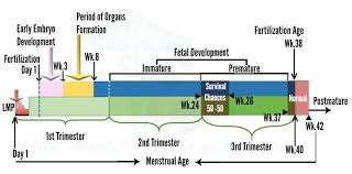 Embryo Chart Growth Fetus Growth Stages And Viability