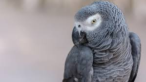 What Should I Feed My African Grey Parrot Pet Central By