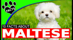 maltese dog. maltese dogs 101 most popular dog breeds - animal facts